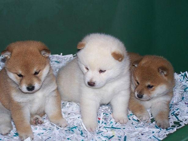 puppies for sale uk